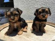 Two Gorgeous Teacup Yorkie puppies (715) 248-2965