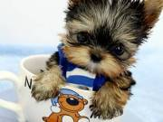 Akc Cute Yorkie Puppies For Adoption...