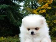 Available Pomeranian puppies For adoption