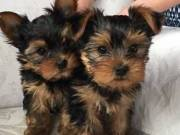 Very playful and lovely Yorkie puppy male and female contact (336)9990372