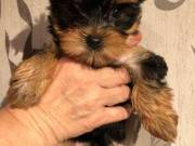 beautiful male and female Yorkie puppies left for sale.