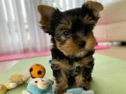 Teacup Yorkie Puppies Seek Loving Home