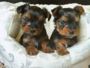 Two Precious Teacup Yorkie pups Female and male (715) 248-2965