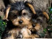 cute male and female yorkie puppies3159295943