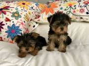 Text// (970) 343-8486  have some lovely teacup Maltese and yorkie puppie for sell Hello everyone am