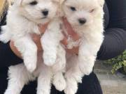 Female and Male Potty Maltese puppies for Adoption+1(973) 283-5011