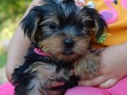 These adorable Yorkie puppies for adoption    suzynul34@gmail.com