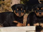 Top Quality Rottweiler Puppies Text: (551) 888 3483