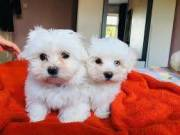 Fluffy Maltese puppies ready for adoption suzynul34@gmail.com