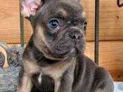 precious French Bulldog  puppies ready for adoption suzynul34@gmail.com