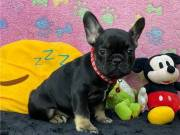 Trained French Bulldog Puppies TEXT: (551) 888 3483