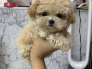 outstanding  poodle puppy for adoptions