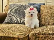 AKC Registered Maltese puppies TEXT: (551) 888 3483