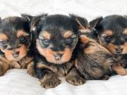 adorable dewormed christmas Tea cup yorkie puppies ready for their forever home Text or Call +1(408)