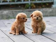 Cute Male and Female poodle Puppies