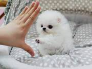 Socialized Teracup Pomeranian Puppies for sale