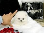 Socialized Teacup Pomeranian Puppies for sale