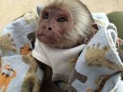 Gorgeous baby capuchin monkeys for sale