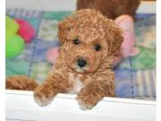 poodle puppies for sale and very playful too