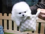 Teddy Bear Pomeranian Puppies Ready for New Family.Text +1(916) 347-0810)