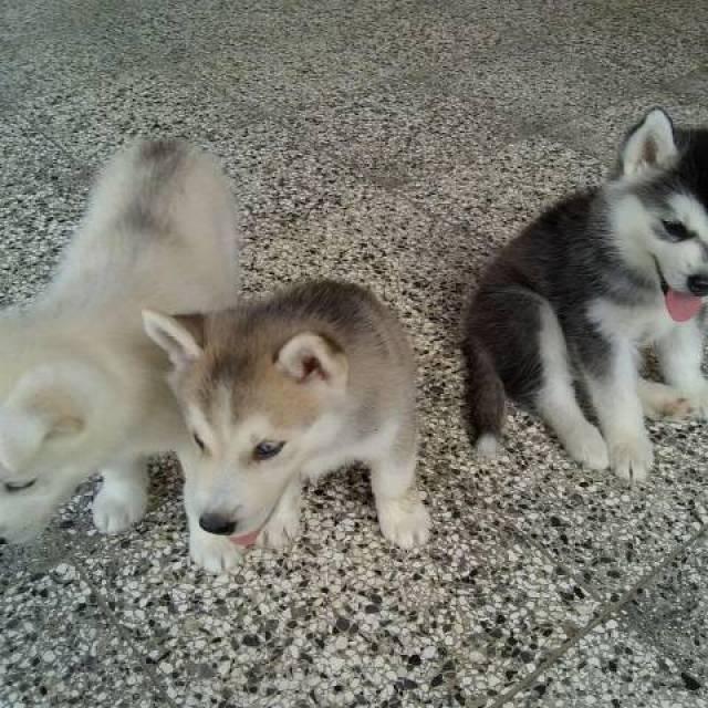 Siberian husky puppies for adoption - Indianapolis ...
