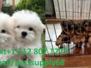Text//+1 612 807 1277 I have some lovely teacup Maltese and yorkie puppie for sell