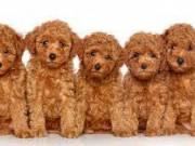 teacup poodle puppies ready for adoption