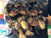 gorgeous male and female yorkie puppies..+1(470) 514-3382