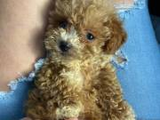 gorgeous poodle puppies available now to go