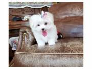 Xmas Maltese Puppies for Rehoming(Text:(309) 857-0408