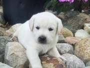 Adorable labrado puppies for sale +1(262)-676-2475