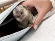 Marmoset Monkey Price