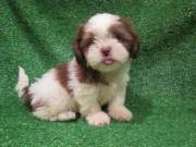 Adorable Shih tzu Puppies ✔✔available (mccauley.cauley@gmail.com)