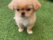 Pekingese Puppies For Sale +1(470) 333-9590