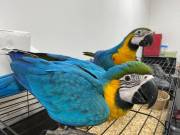 Baby Blue And Gold Macaw Parrots
