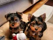 Lovely Yorkie Puppies for sale.