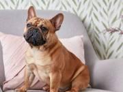 Lovely French Bulldog
