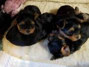 cute yorkie puppies (760) 441-5167