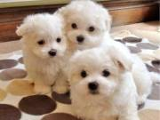 2 Potty trained teacup Maltese puppies for adoption +1(973) 283-5011?