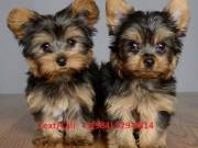 Home raised Yorkshire Terrier puppies for rehoming