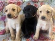 Registered  Labrador Retriever puppies