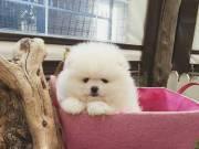 Beautiful Pomeranian Puppies.Text +1(916) 347-0810)
