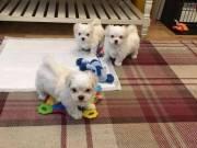 Intelligent Maltese Pups **Adoption** (786) 572-1389