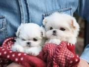 2 Potty trained teacup Maltese puppies for adoption +1(616) 606-0359