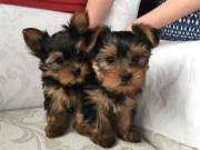 Beautiful Xmas Purebred Yorkie puppies for adoption.