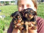 Xmas Yorkie puppies for a good home....+1(469)430 9813