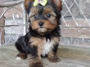 Cute Yorkie puppies ... (407) 542-9306