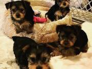 Four adorable 10 week old puppies Yorkie