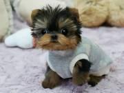 Purebred Tiny Yorkie Puppies Purebred Tiny Yorkie Puppies