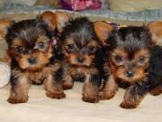 Pure Breed Yorkshire Terrier Puppy